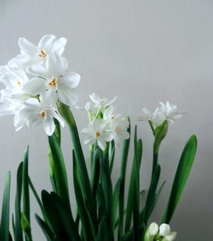 Binnen Bloeiende Narcis Paperwhites (Ziva)
