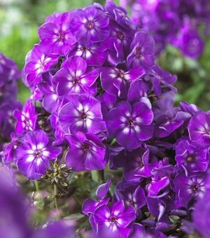 Phlox Purple Kiss