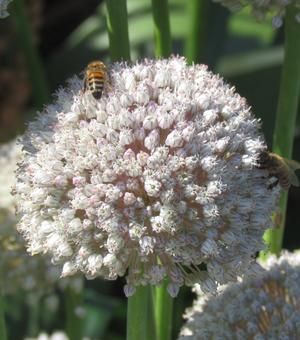 Allium Ampeloprasum Ping Pong