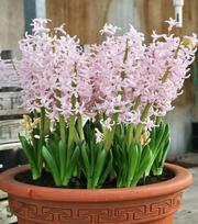 Hyacint Pink Festival