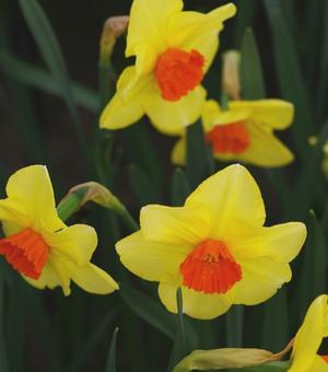 Narcis Pipe Major