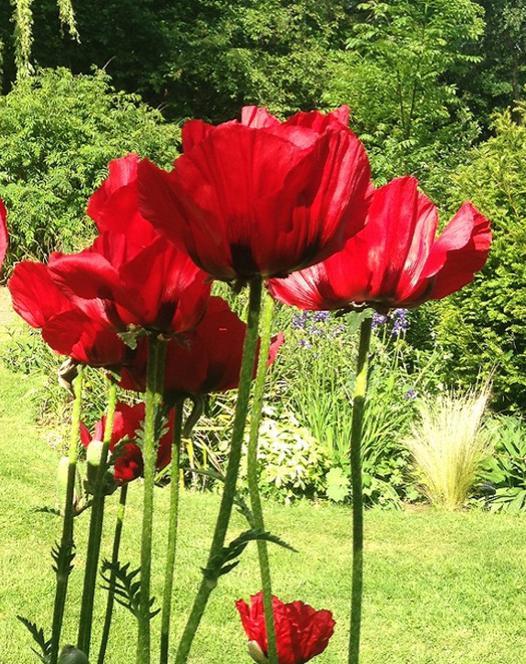 Papaver (Poppy) Beauty of Livermere