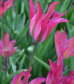 Tulip Purple Dance