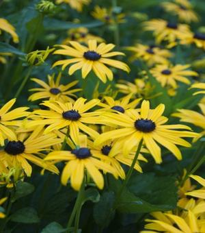 Rudbeckia Early Bird Gold