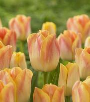 Tulp Salmon Dynasty