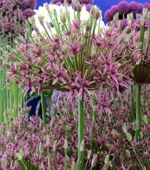 Allium Spider