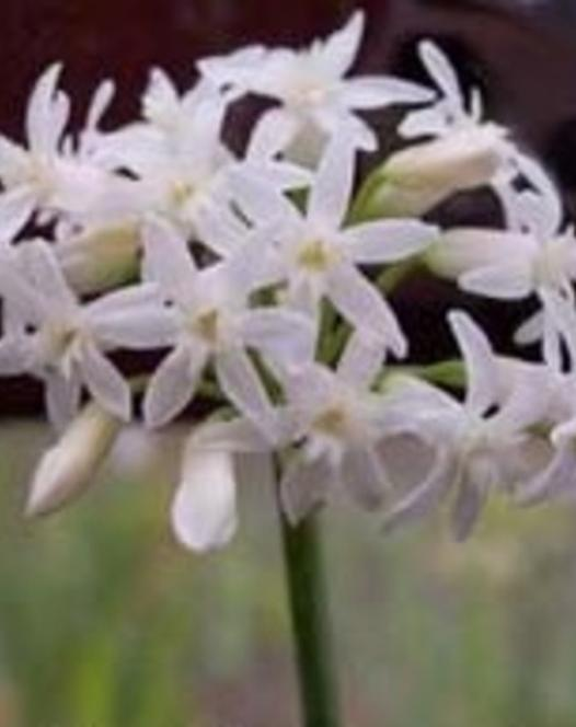 Tulbaghia Fragrans Alba