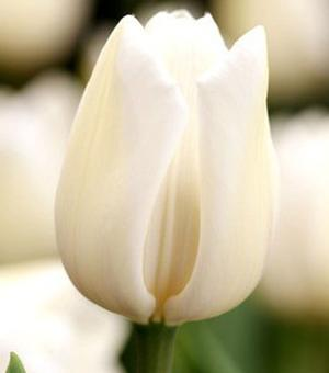 Tulp Angel's Wish