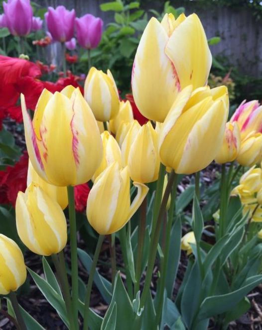 Tulp Antoinette