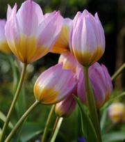 Tulp Bakeri Lilac Wonder