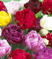 Tulpen - Dubbel Laat Gemengd