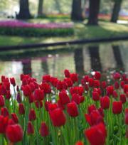 Tulp Ile de France