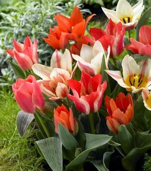 Tulip Kaufmanniana and Greigii Mixture