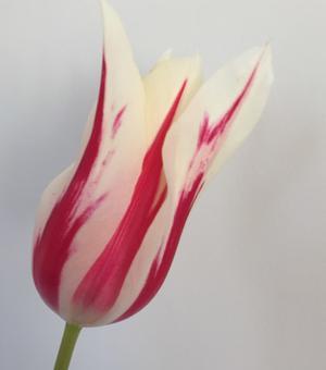 Tulp Marilyn