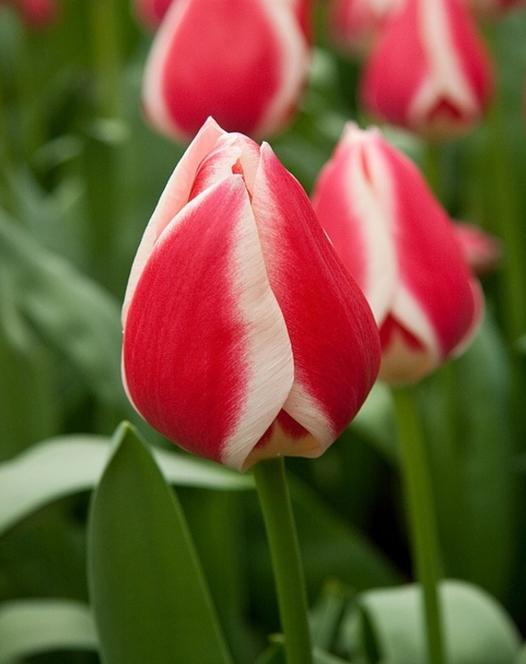 Tulp Candy Apple Delight