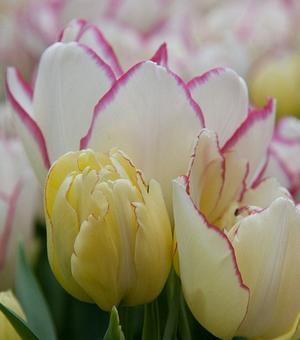 Tulp Belicia