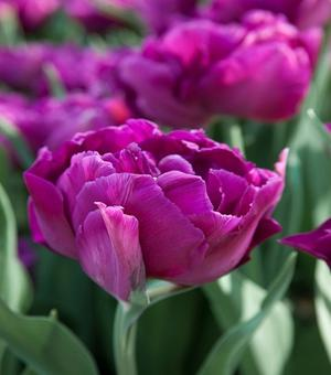 Paarse Droom Tulp Collectie