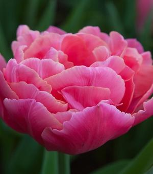 Tulp Sunset Tropical