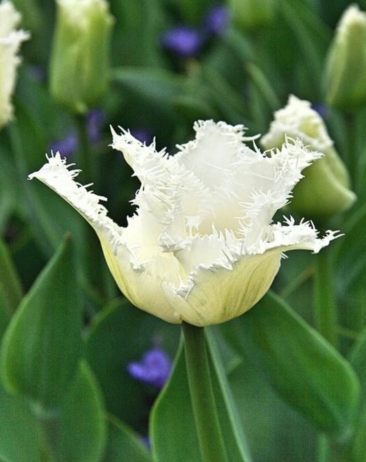 Tulp Swan Wings