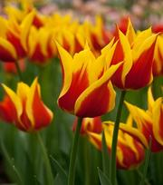 Tulp Synaeda King