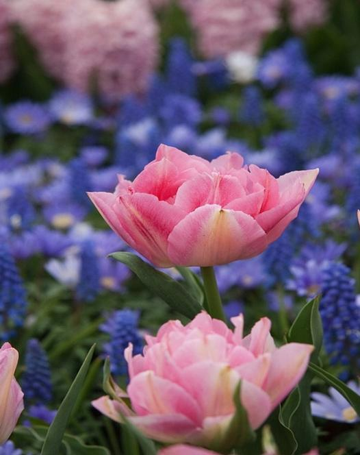 Pink Delight Tulp Collectie