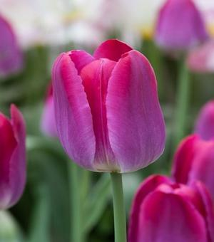 Tulp Pittsburg