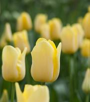 Tulp World Friendship