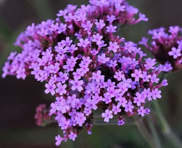 Verbena Lollipop
