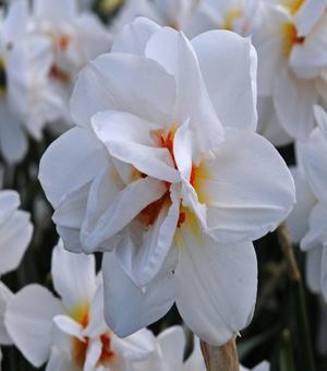 Narcis Victoria von dem Busche