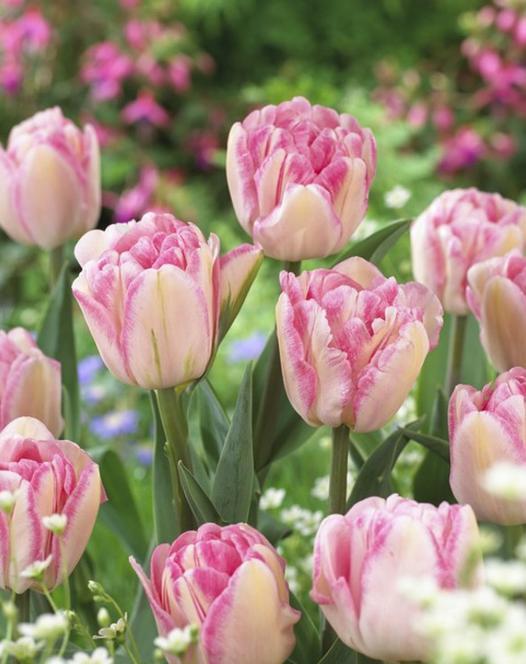 Pink Delight Tulp Collectie