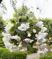 Begonia Cascade Wit