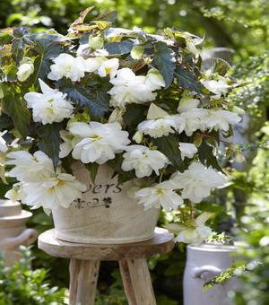 Begonia Illumination wit