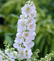 Verbascum White Domino (Koningskaars)