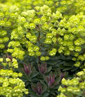 Euphorbia Red Wing