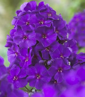 Phlox The King
