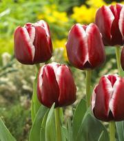Tulp Armani
