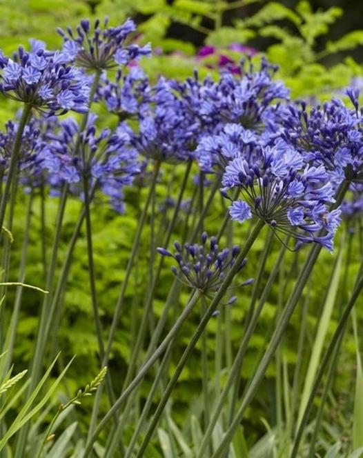 Agapanthus Midnight Blue