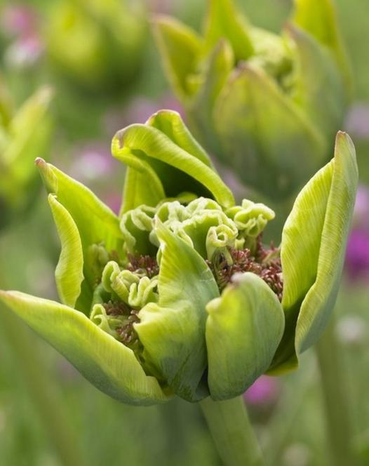 Tulp Green Bizarre