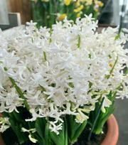 Hyacint White Festival
