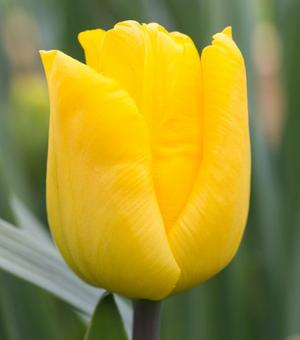 Tulp Yellow King