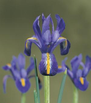 Iris Edward