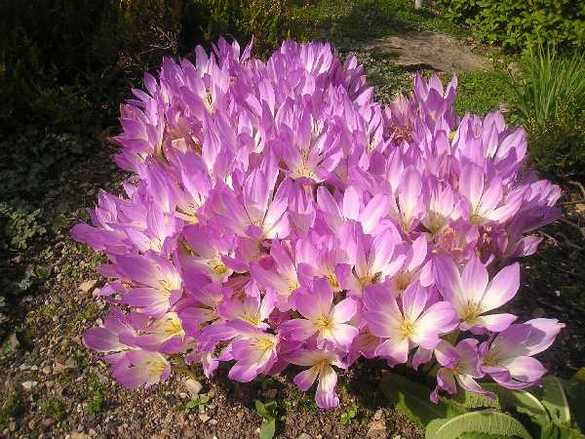 Colchium Speciosum