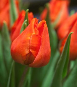 Tulip Orange Dream