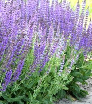 Salvia Mainacht (Salie)