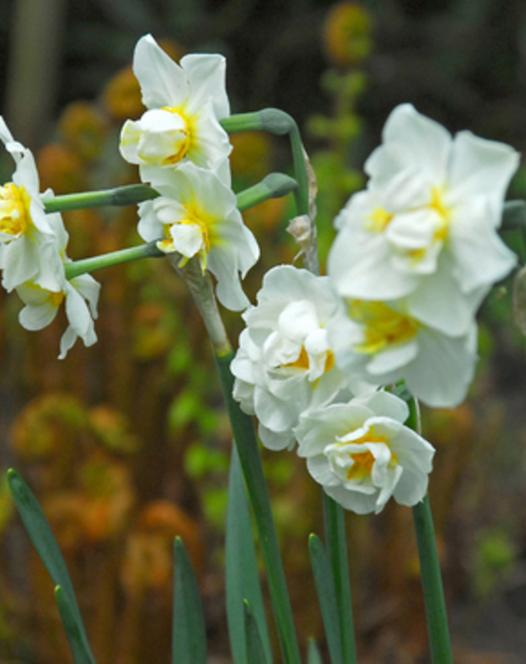 Narcis Cheerfulness 25kg