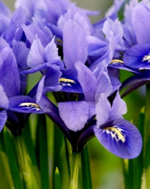 Iris Alida