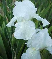Iris Germanica Immortality