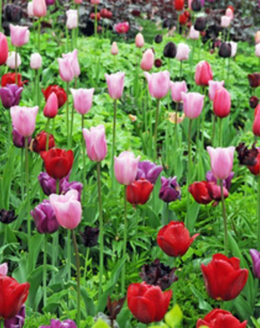 Enkele Laat Tulpen Gemengd