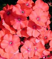 Phlox Orange Perfection