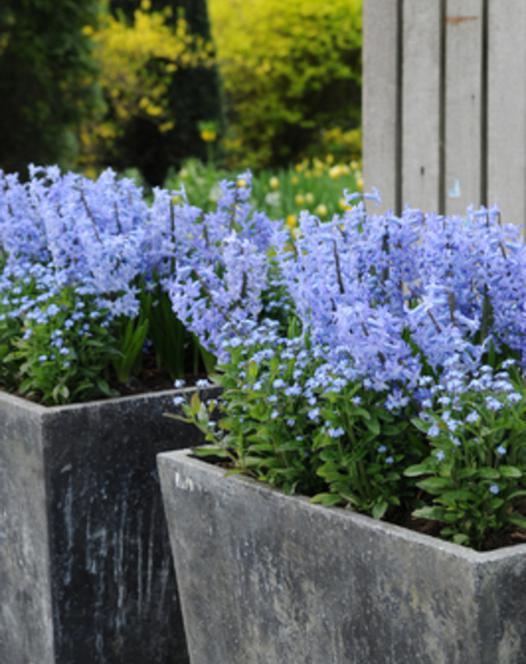 Hyacint Blue Festival